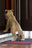 Petit petit animal de lion se tenant en porte Photographie stock libre de droits