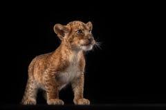 Petit petit animal de lion sur le fond noir Photos stock