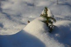 Petit pin dans la neige Images stock