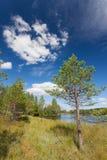 Petit pin près de lac Photo libre de droits