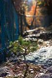 Petit pin s'élevant chez Forest Park images libres de droits