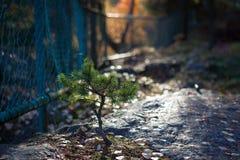Petit pin s'élevant chez Forest Park images stock