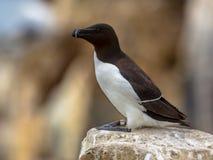 Petit pingouin été perché sur la roche Image libre de droits