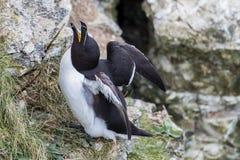 Petit pingouin de grognement Photos libres de droits