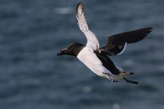 Petit pingouin en vol au-dessus de la mer Photographie stock