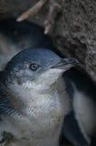 Petit pingouin gris Photos stock