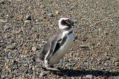 Petit pingouin magelan gentil Images stock