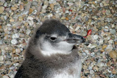 Petit pingouin magellan Images stock
