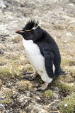 PETIT PINGOUIN PELUCHEUX Images stock