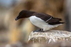 Petit pingouin regardant vers le bas de la roche Image stock