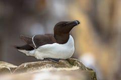 Petit pingouin se reposant sur la roche Photo libre de droits