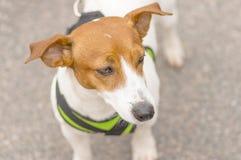 Petit plan rapproché de chien Image libre de droits
