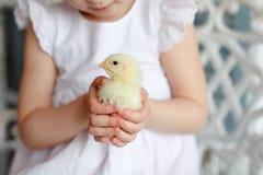 Petit plan rapproché de poulet, qui tient une petite fille dans un petit morceau Images stock