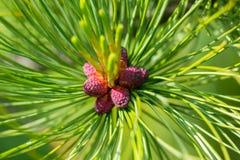 Petit plan rapproché rouge et pourpre de cônes de pin images libres de droits