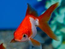 Petit poisson rouge rouge et blanc de Ryukin Photographie stock libre de droits