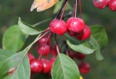 Petit pommier en automne Photos libres de droits