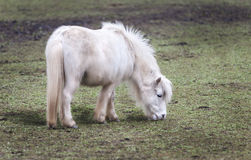 Poney Photo stock