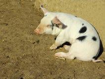 Petit porc Image libre de droits