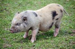 Petit porc de ventre de pot Photographie stock