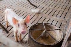 Petit porc malade à la ferme, porc dans la stalle Industrie de viande images stock