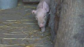 Petit porc marchant dans la cage clips vidéos