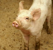 Petit porc mignon Images libres de droits