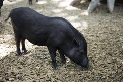 Petit porc noir Photos libres de droits