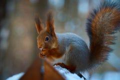 Petit portrait d'écureuil Photographie stock libre de droits