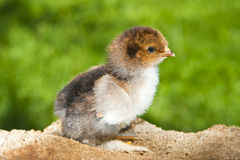 Petit poulet Photo libre de droits