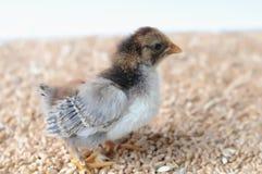 Petit poulet photo stock