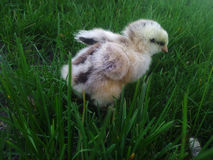 Petit poulet Images libres de droits