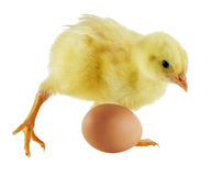 Petit poulet Photographie stock