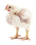 Petit poulet blanc Photographie stock libre de droits