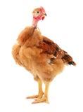 Petit poulet brun Photographie stock