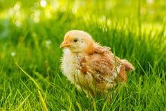 Petit poulet dans l'herbe d'été image stock