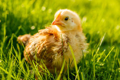 Petit poulet dans l'herbe d'été photographie stock libre de droits