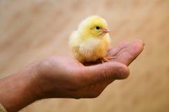 Petit poulet jaune Photographie stock