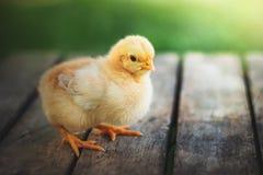 Petit poulet jaune sur le support en bois Cultivant et vendant le poulet photographie stock libre de droits