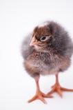 Petit poulet mignon Images stock