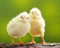 Petit poulet mignon Photo stock