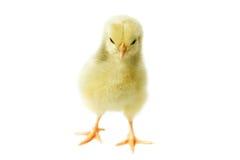 Petit poulet pelucheux photo stock