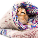 Petit poulet se reposant dans des chaussettes d'un knit Photos stock