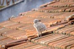 Petit poussin de mouette sur un toit carrelé 3 photos stock
