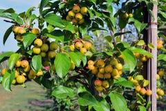 Petit, propre, pollinisateur de pomme de pommes sur des branches images libres de droits