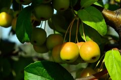 Petit, propre, pollinisateur de pomme de pommes sur des branches photographie stock