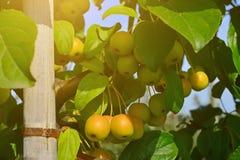 Petit, propre, pollinisateur de pomme de pommes sur des branches photos stock
