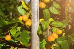 Petit, propre, pollinisateur de pomme de pommes sur des branches images stock