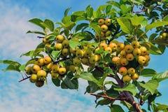 Petit, propre, pollinisateur de pomme de pommes sur des branches image libre de droits