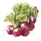 Petit radis de jardin d'isolement, peinture d'aquarelle Photographie stock