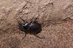 Petit rampement de scarabée moulu vers le haut du mur Photo libre de droits